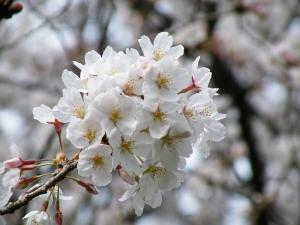 今年の桜ちょっと色が薄くない?