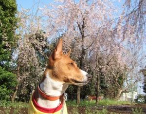 しだれ桜の前でパチリ。